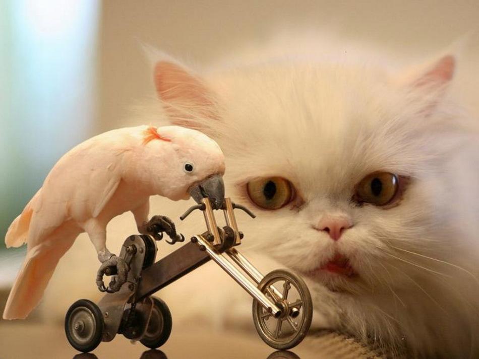 Персидская кошка всегда спокойна и преисполнена достоинства