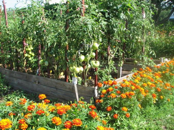 Бархатцы, посаженные рядом с помидорами — хорошее соседство