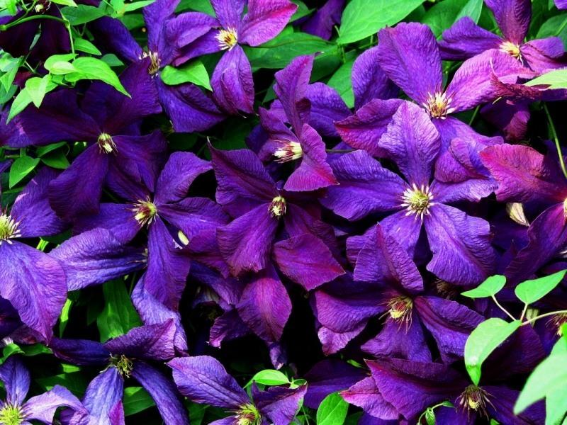 фотографии цветка клематис любой препарат