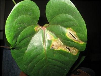 Поврежденные листья