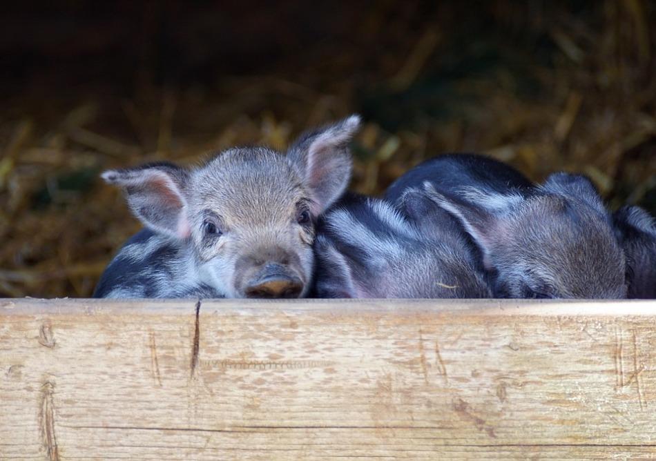 Сонник: свинья