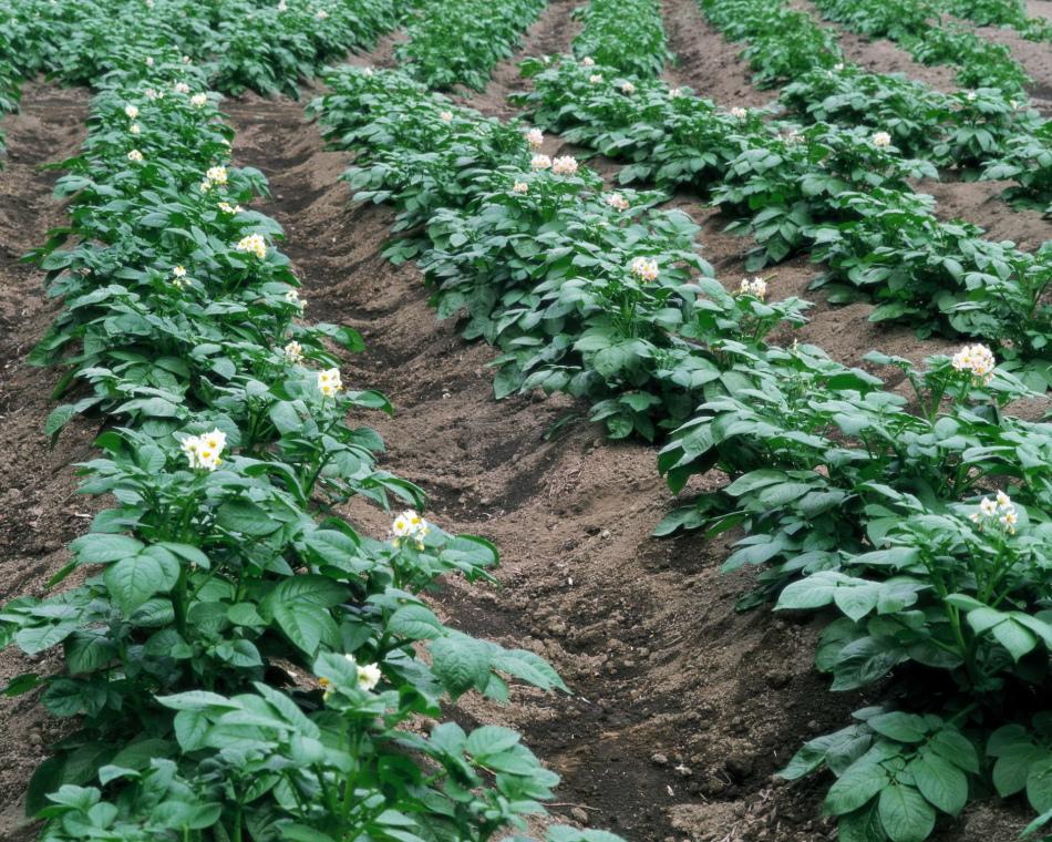Расстояние для посадки картофеля