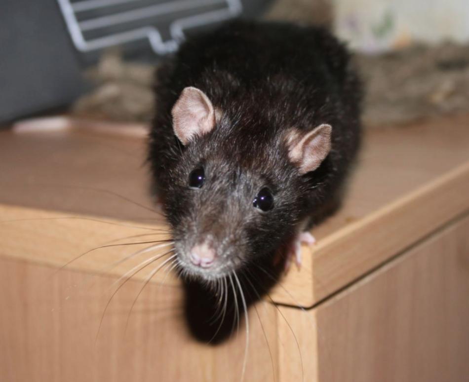 Крыса, пробравшаяся в дом во сне, предвещает потери и разочарования.