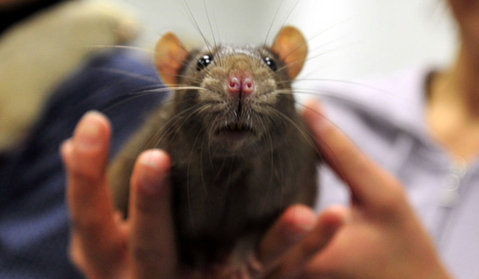 В мужском сне крысы могут появляться, чтобы предупредить о наличии в жизни соперника.