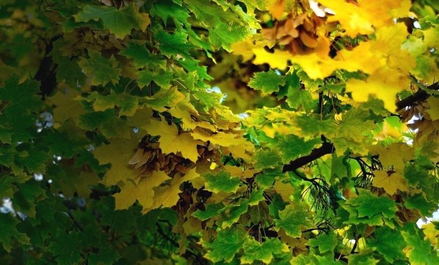 Клен - не только красивое растение, но и очень полезное