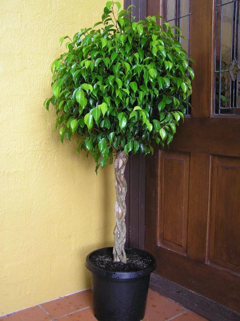 Фикус: что означает этот цветок для дома и офиса, что символизирует?