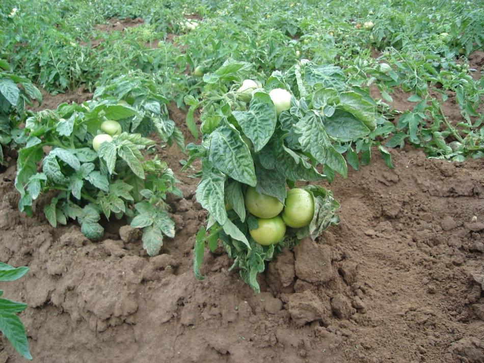 Схема посадки томатов квадратно-гнездовым методом