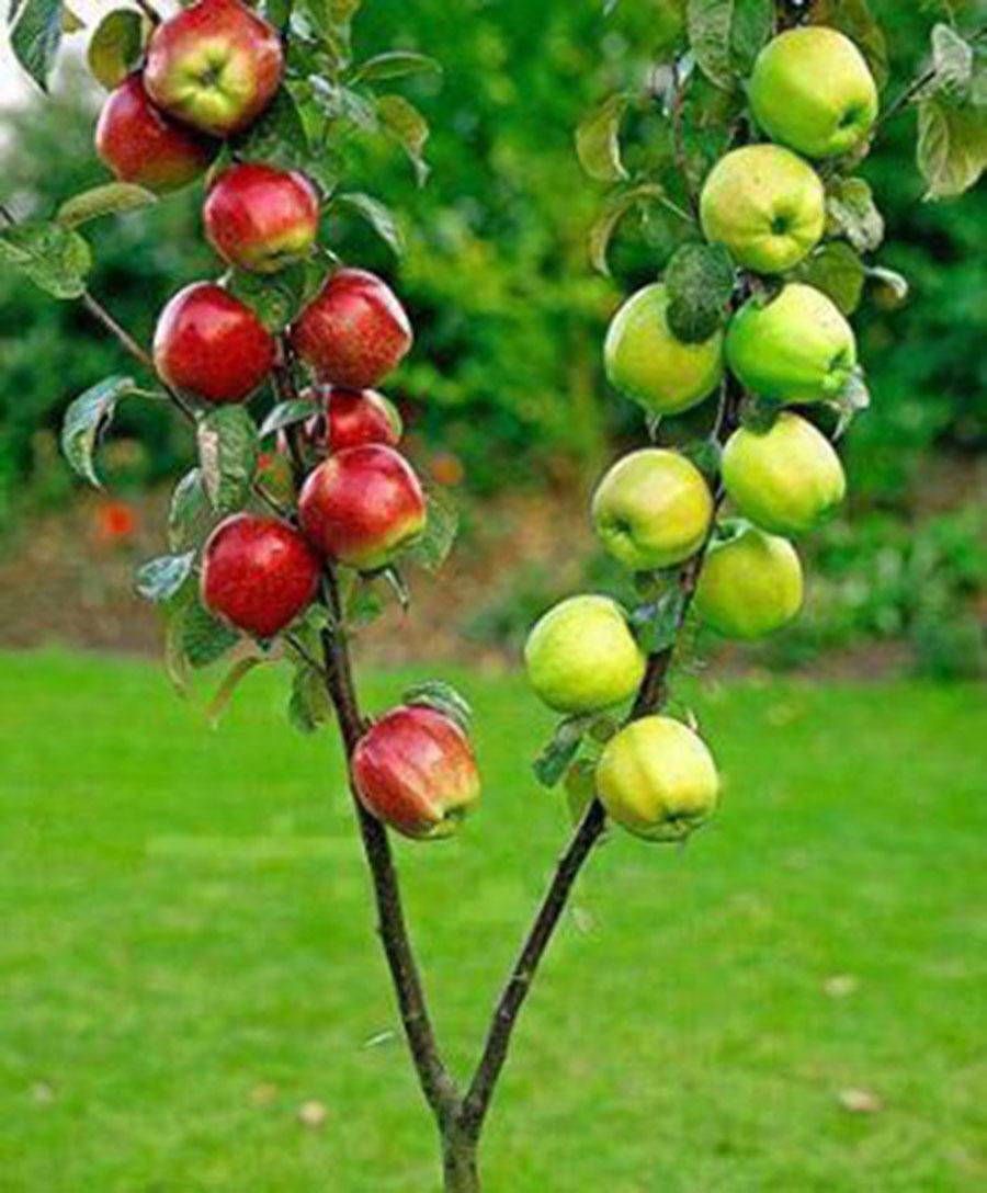 Для получения хороших плодов требуется качественный уход