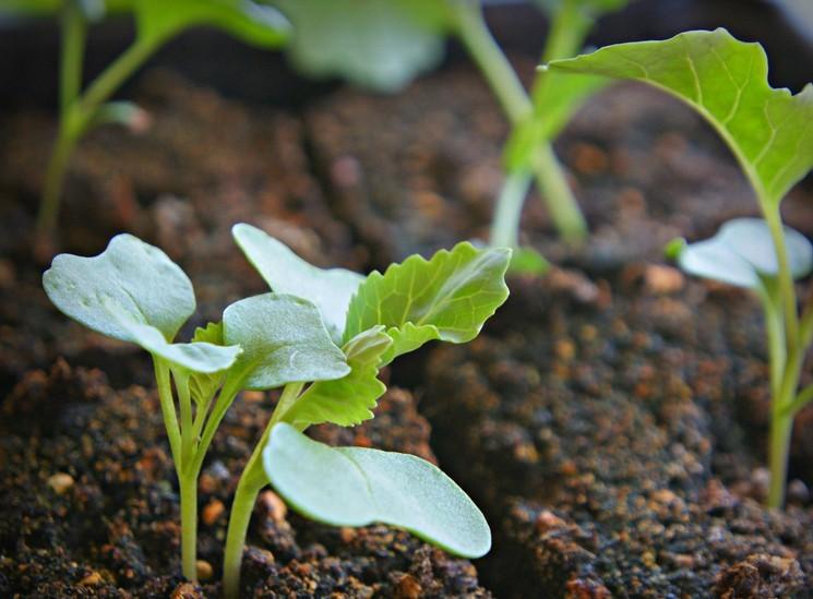Причины появления фиолетовых листьев на рассаде капусты