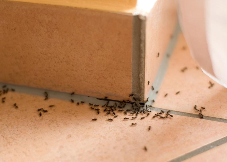 Много муравьев в доме: приметы