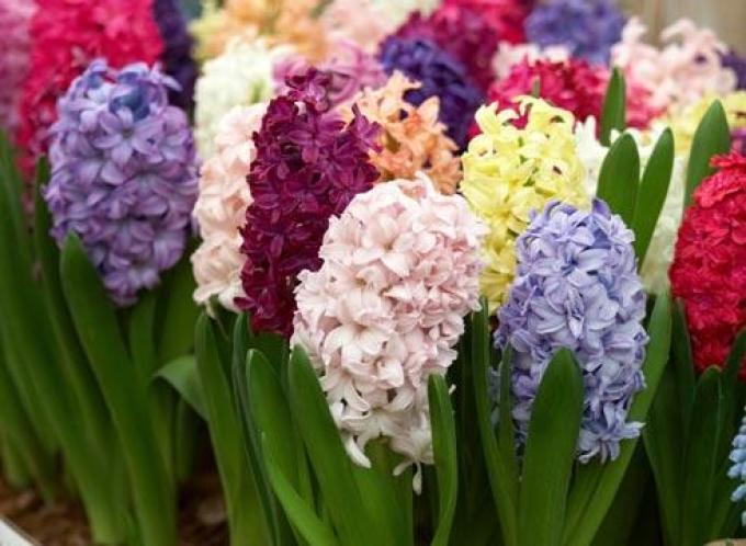 Эти прекрасные цветы подвержены атаке паразитов