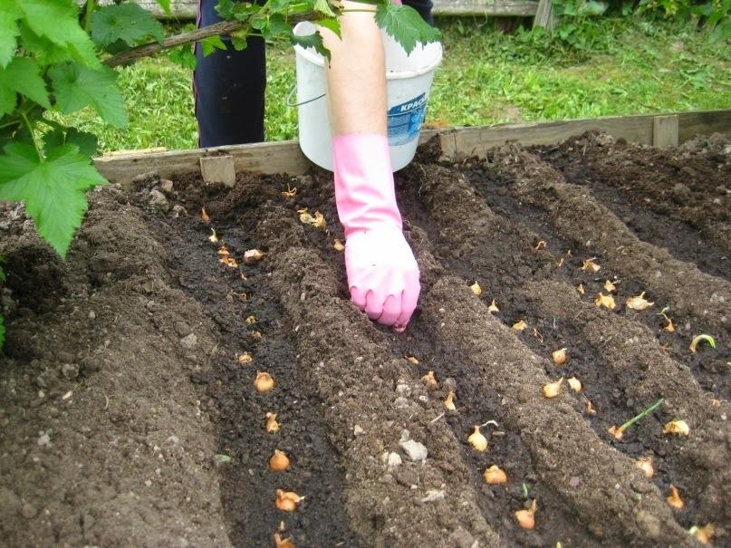 Как сажать лук севок и кущевку на головку весной?
