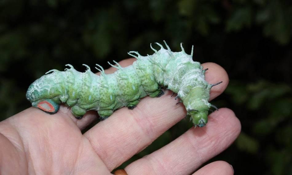 Толстая гусеница