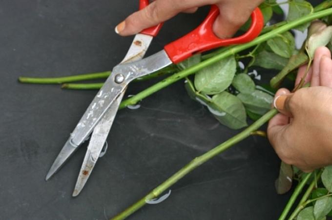 Обрезать розы нужно только под водой
