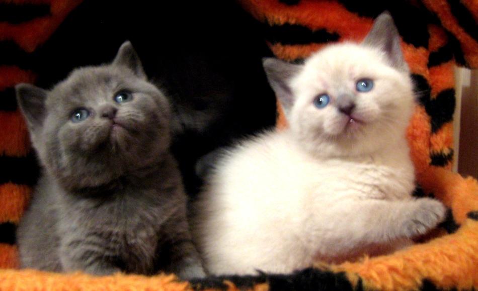 Котята британской и шотландской породы