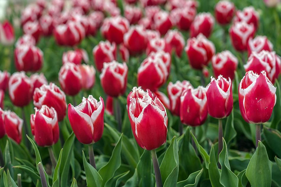 Тюльпанов насчитывается большое количество разновидностей