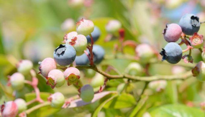 На какой год после посадки плодоносит голубика