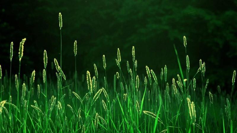 Пырей -невероятно живучее растение