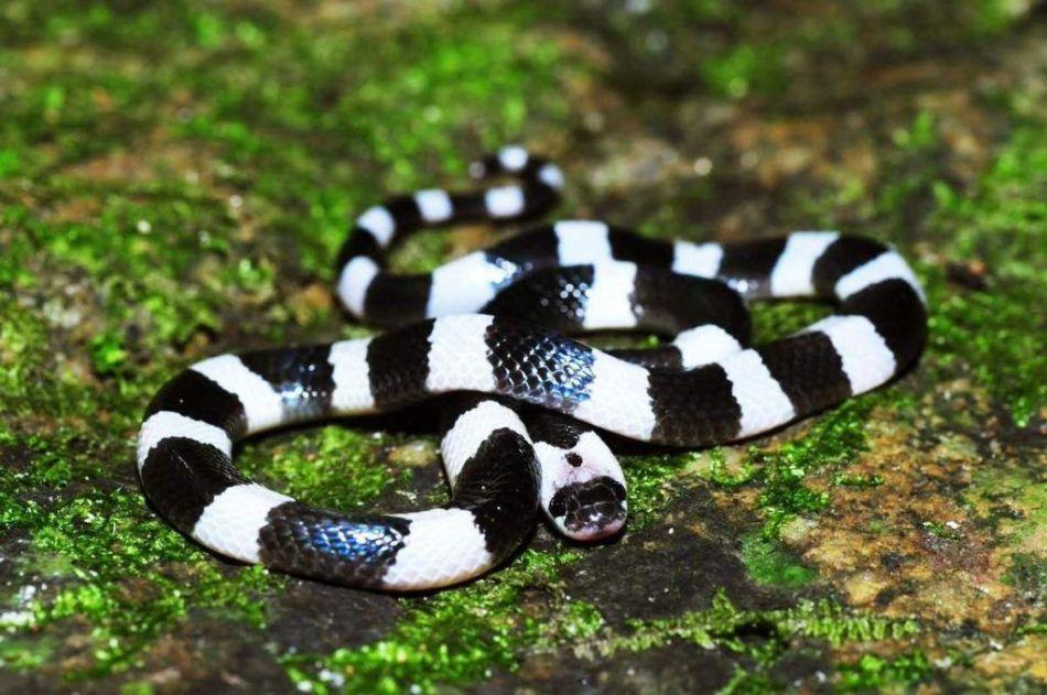 Малайский крайт - змея, яд которой сложно нейтрализовать