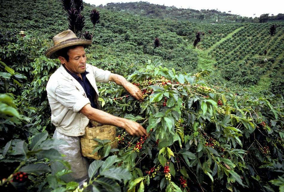 Так выращивается кофе