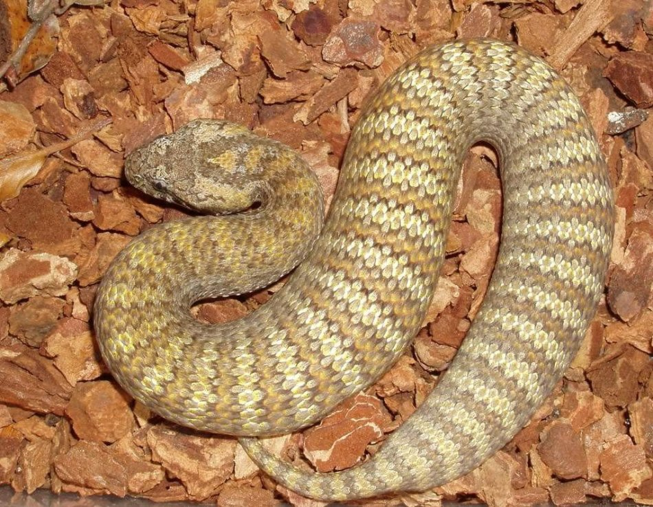Гадюкообразная смертельная змея парализует в мгновение ока
