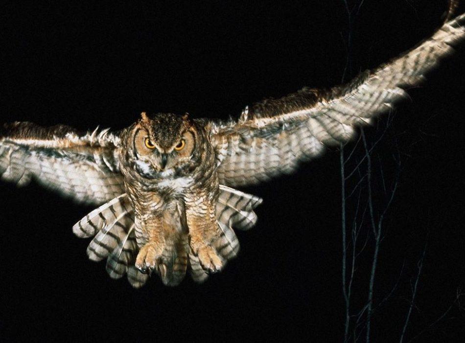 Сова ушастая - ночная охота