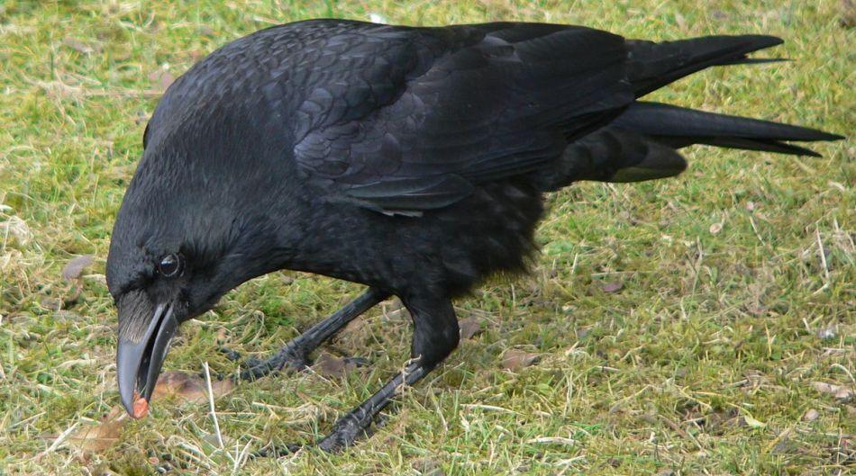 К чему приснилась большая ворона?