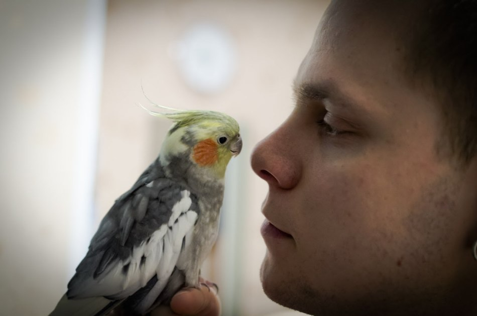Обязательно дайте попугаю время на запоминание слова или звука