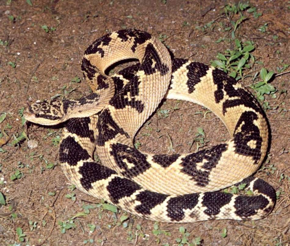 Бушмейстер - самая редко встречающаяся ядовитая змея