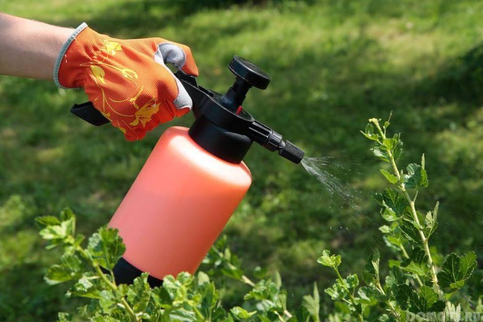 Садовод опрыскивает кусты черной смородины раствором медного купороса