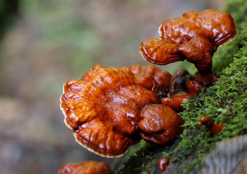 Лакированный гриб рейши