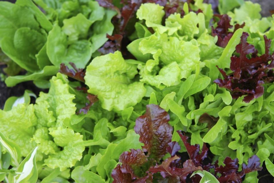Подросшая рассада салата