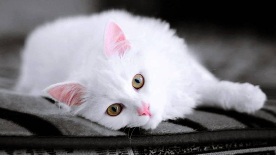 Прикольные картинки, открытки кошки белые
