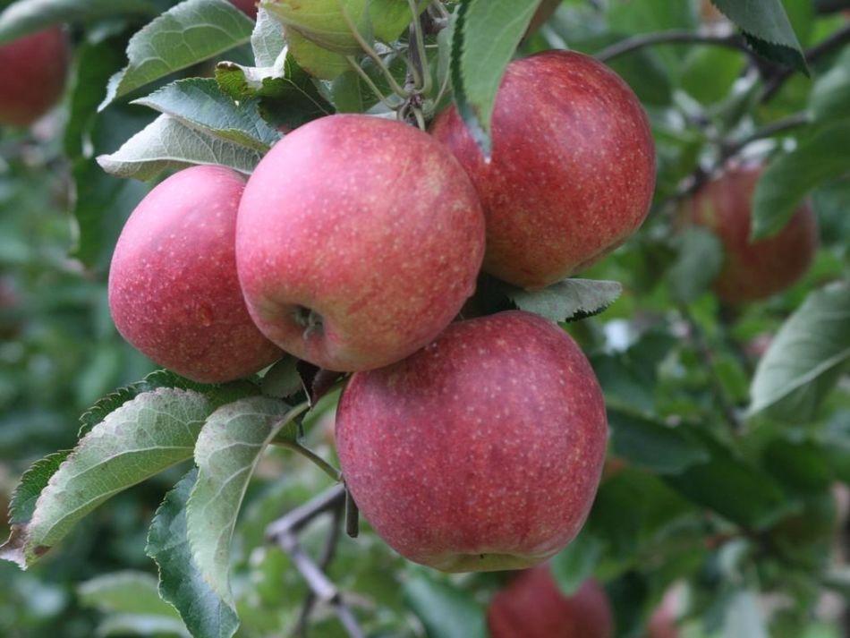 Яблоко сорта лобо