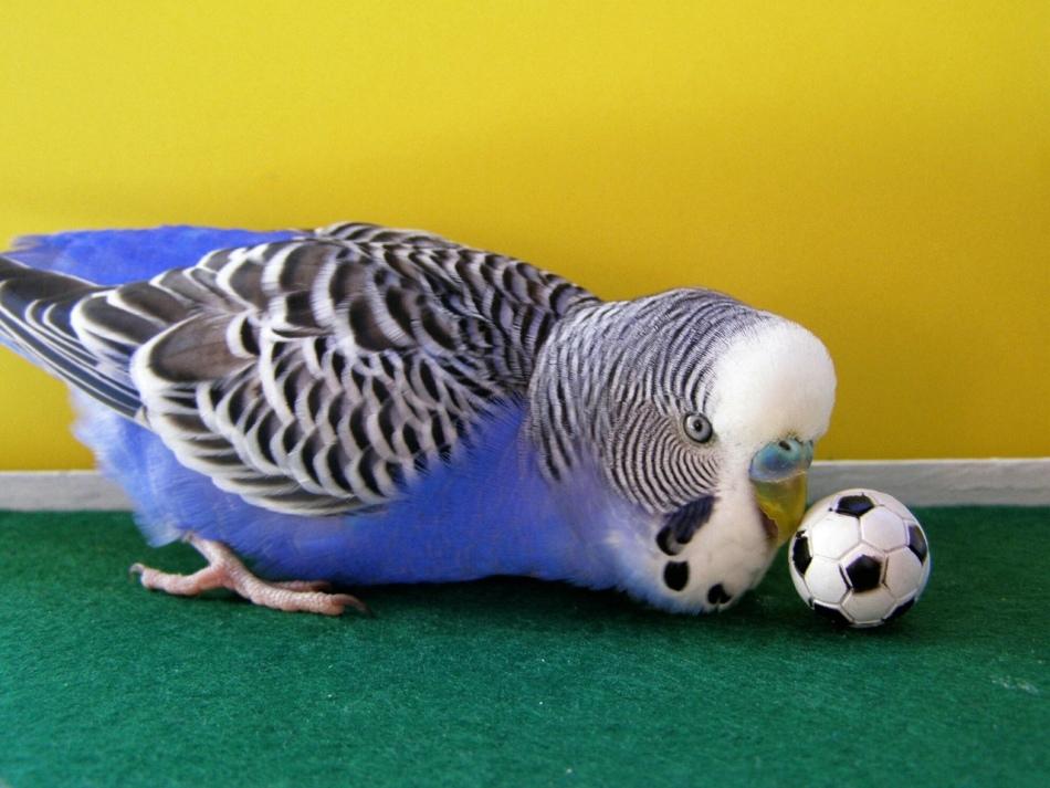 Если волнистому попугайчику хочется поиграть - отложите урок на другое время