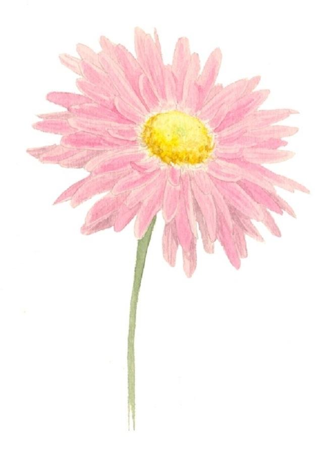 Как нарисовать хризантему