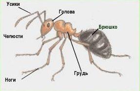 Строение тела муравья
