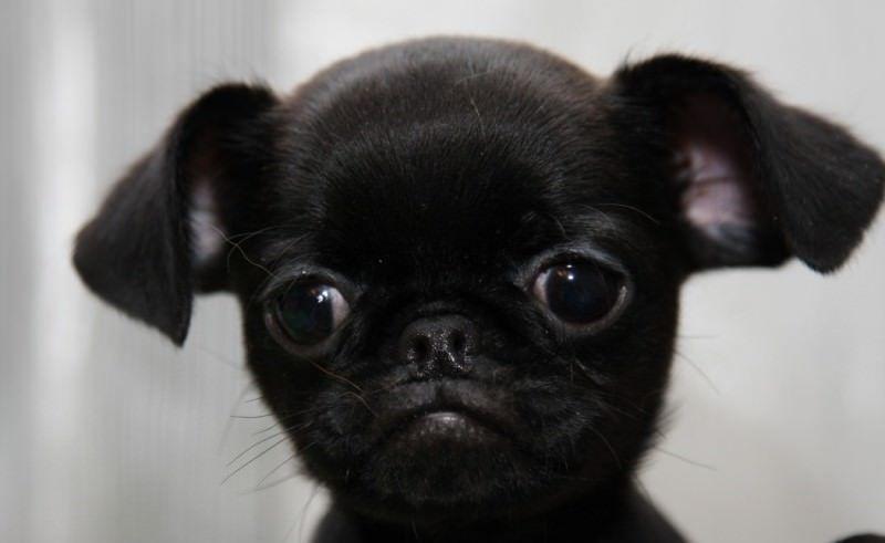 Пти-брабансон - щенок