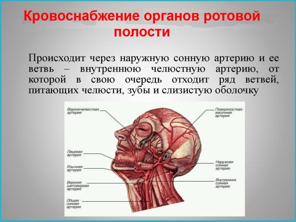 Кровоснабжение челюстей человека