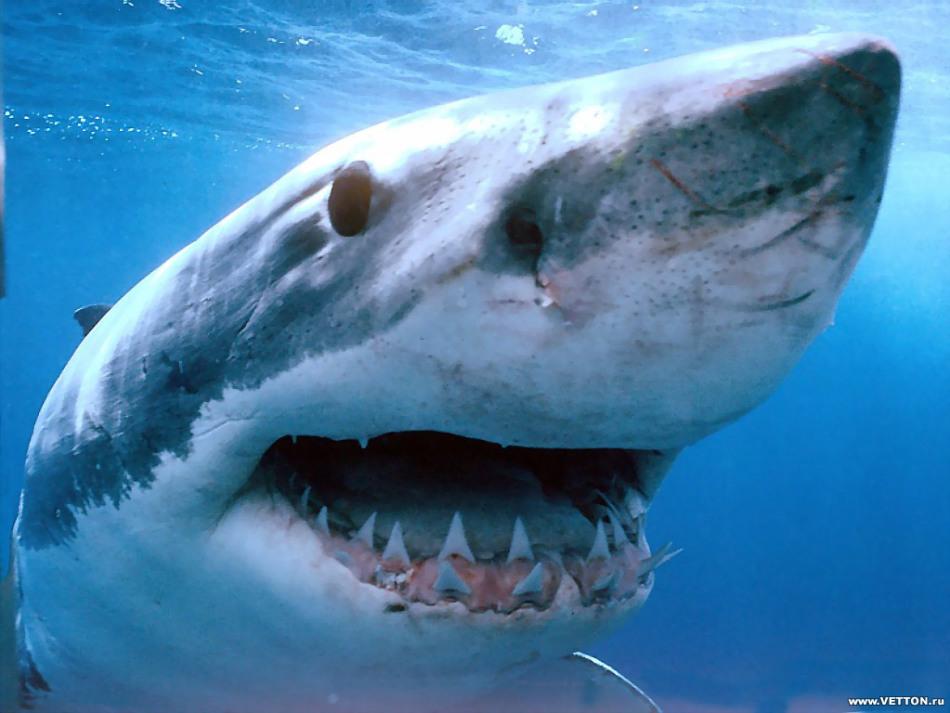 Челюсть акулы устроена так, чтобы акула могла выжить и прокормить себя