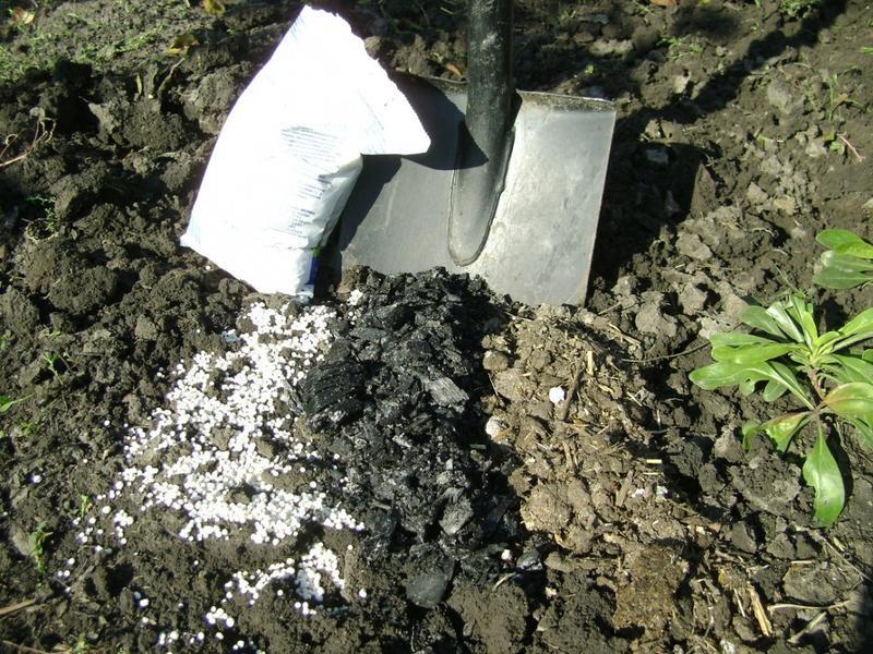 Внесение сухих удобрений под корни черной смородины