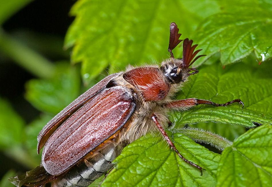 В женские сны жуки попадают, чтобы предупредить о надвигающихся неприятностях.