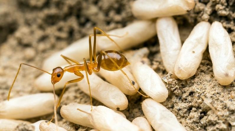 Желтый муравей
