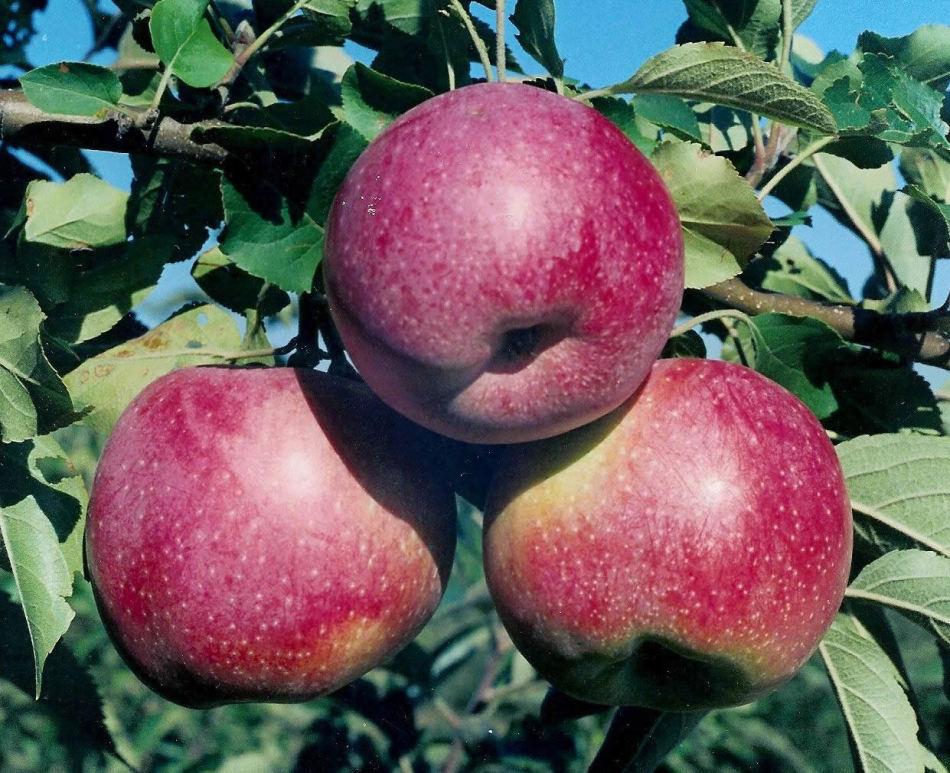 Для такого компота выбирайте сладкие сорта яблок, идеально - садовые яблоки