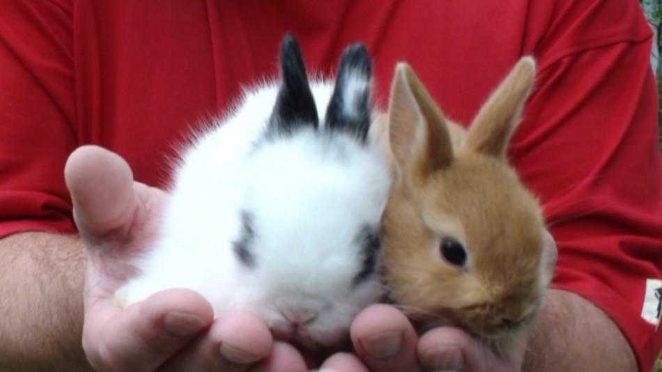 Блохи от декоративных кроликов могут передаваться другим животным