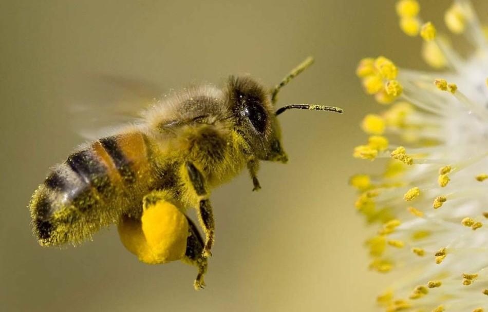 Пчела переносит пыльцу в {amp}quot;корзиночках{amp}quot; на лапках.