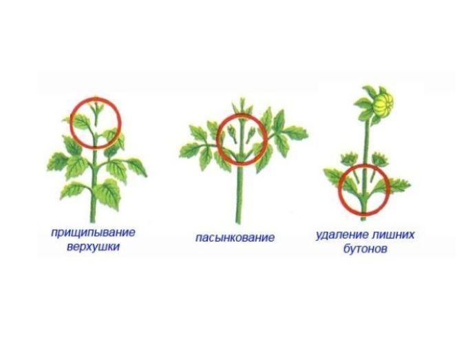 Схема прищипывания цветков