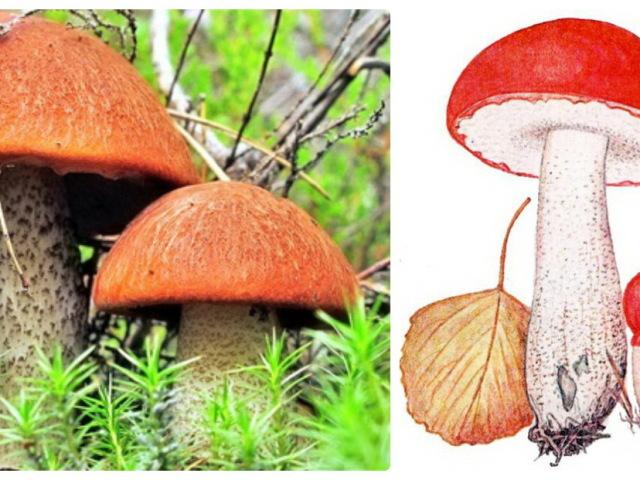 почему гриб подосиновик