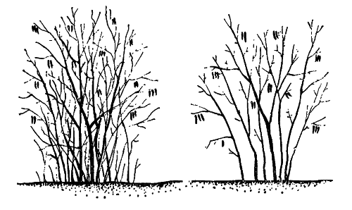 a2df69c3afa3009bed1a0cb792cc38b8 Как нарисовать калину? Как нарисовать ветку и куст калины карандашом?