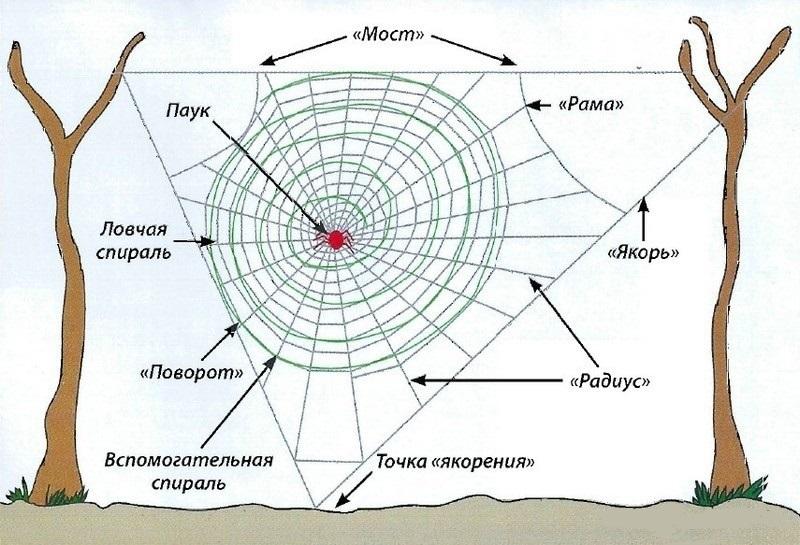 Схема паутины паука-кругопряда